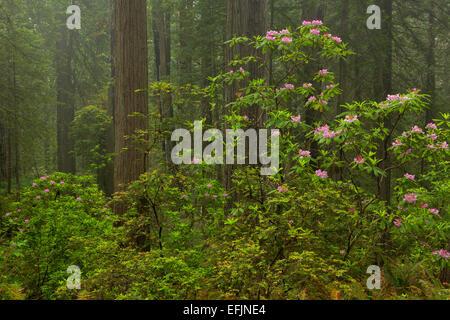 Fioriture di rododendro lungo il sentiero nel Parco Nazionale di Redwood. California. molla