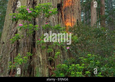 Fioriture di rododendro lungo Lady Bird Johnson loop trail nel Parco Nazionale di Redwood. California. molla
