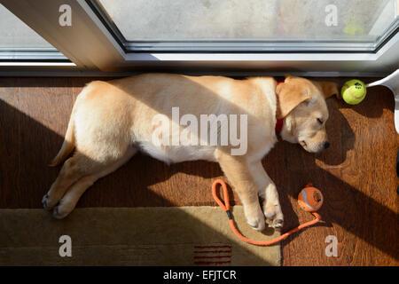 Giallo simpatico Labrador Golden Retriever cucciolo mix di dormire sul suo lato Foto Stock
