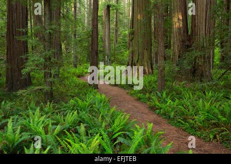 Un sentiero passa Oxalis e felci che rendono un tappeto di sottobosco tra massive Redwood (Sequoia semervirens) alberi in St