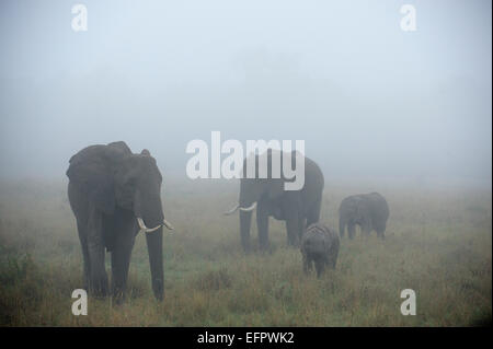 L'elefante africano (Loxodonta africana), elefante famiglia con bull, latte di mucca e di giovani, nella nebbia, Foto Stock