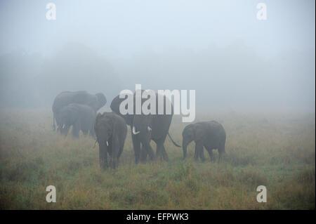 L'elefante africano (Loxodonta africana), famiglia elefante nella nebbia, il Masai Mara, Kenya Foto Stock
