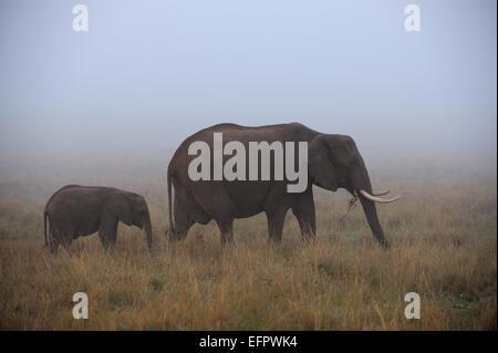 Elefante africano (Loxodonta africana), Bull con giovani, alimentazione, nella nebbia, il Masai Mara, Kenya Foto Stock