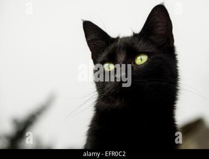 Attraente nero micio