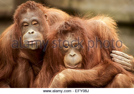 Sumatra orangutan, lo Zoo di Dublino, Irlanda Foto Stock