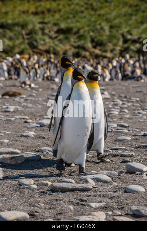 Re pinguini (Aptenodytes patagonicus) marciando nella fase a Gold Harbour, Georgia del Sud Antartide