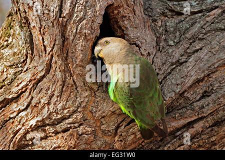 Un pappagallo brownheaded (Piocephalus cryptoxanthus) presso il suo nido in un albero, Sud Africa Foto Stock
