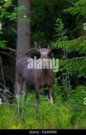 Alci (Alces alces) toro giovane con corna coperta in velluto in pineta in estate, Scandinavia