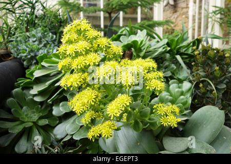 Primo piano dei fiori gialli di Aeonium Arboreum, Regno Unito