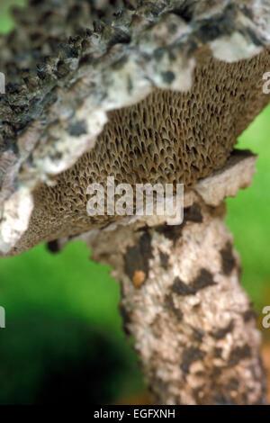 Il vecchio uomo di boschi (Strobilomyces strobilaceus / Strobilomyces floccopus) lato inferiore del cappuccio che Foto Stock