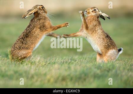 Brown lepre (Lepus europaeus) permanente e la boxe durante la stagione di accoppiamento in Marzo Foto Stock