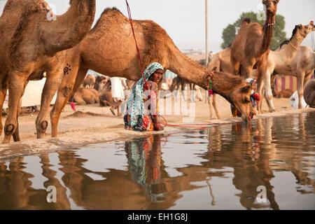 Cammelli in corrispondenza di un punto di irrigazione al camel e fiera del bestiame Pushkar Fiera o Pushkar Mela, Pushkar, Rajasthan, India, Asia