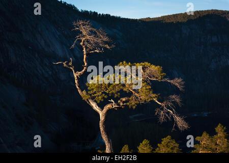 Sera La luce del sole su albero di pino in Nissedal,Telemark fylke, Norvegia. Foto Stock