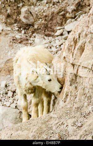 Giovani capre di montagna (Oreamnos americanus) leccare il sale da un salt lick del lato della collina rocciosa Foto Stock