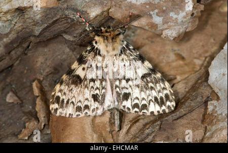 Falena etiope (Rhypopterix sp.), foresta di Harenna, montagne di balle, Regione Oromia, Etiopia Foto Stock