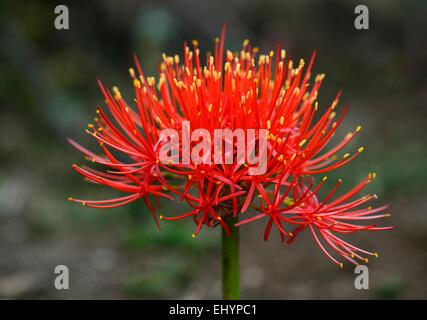 Fioritura amaryllid (Amaryllidaceae), foresta di Harenna, montagne di balle, Regione Oromia, Etiopia Foto Stock