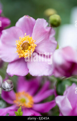 Anemone hupehensis var la japonica foto immagine stock for Anemone giapponese