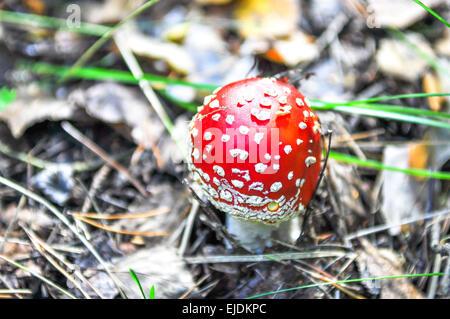 Il piccolo fungo amanita in habitat naturali