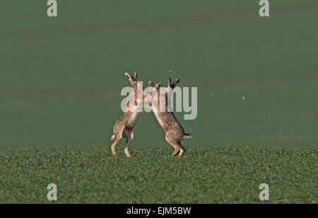 Coppia di unione marrone (Comune) Lepri- Lepus europaeus boxe. Regno Unito Foto Stock