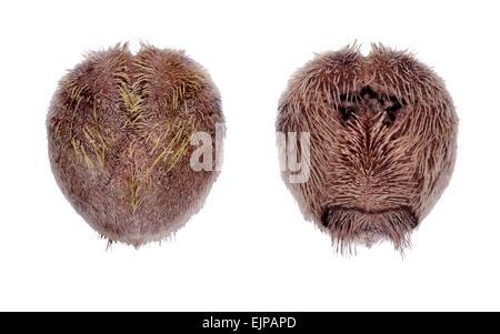 Cuore viola Urchin - Spatangus purpureus Foto Stock