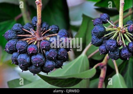 Edera comune (Hedera helix) close up di frutti di bosco Foto Stock