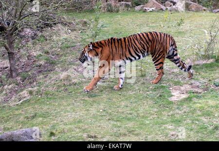 Femmina tigre di Sumatra (Panthera tigris sumatrae) Foto Stock