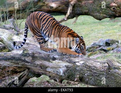 Femmina tigre di Sumatra (Panthera tigris sumatrae) artigliando in corrispondenza di un tronco di albero a Hamburger' Foto Stock