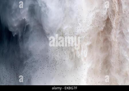 Gregge di rondoni battenti la loro posatoio dietro il sipario di caduta in acqua di Kaieteur Falls, Guyana, Sud America