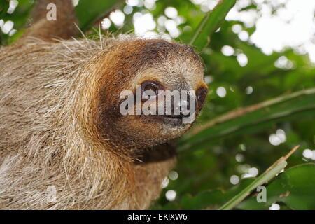 Testa di giovani il bradipo guardando la fotocamera nella giungla della Costa Rica, animale selvatico, America Centrale Foto Stock