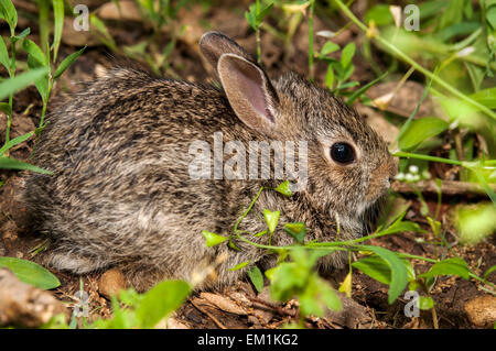 Baby bunny coniglio in erba Foto Stock