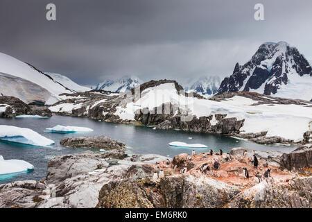 I pinguini di Gentoo (Pygoscelis papua) e iceberg off shore di Isola Peterman; Antartide Foto Stock