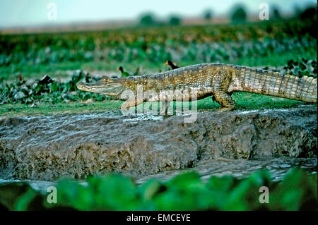 Spectacled Cayman o Baba (Cayman crocodilus crocodilus). Foto Stock
