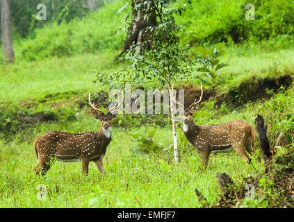 Una coppia di spotted deer (asse asse) stags sparring durante il rut. Foto Stock