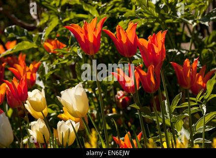 Il bianco e il rosso tulipani in un giardino in Inghilterra, Regno Unito Foto Stock