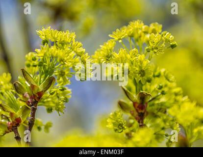 Piccolo-lasciava tiglio (Tilia cordata), fiori Foto Stock