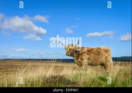 Highland scozzesi il bestiame pascola sui pascoli aperti nel cuore del North York Moors National Park in una giornata Foto Stock