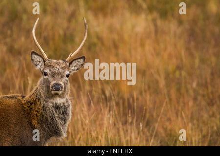 Red Deer cervo (Cervus elaphus) nelle Highlands scozzesi, Inverness-shire, Scotland, Regno Unito guardando la telecamera, vicino la faccia di testa