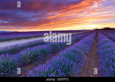 Alba sul campo di lavanda di Valensole, Provenza, Francia Foto Stock