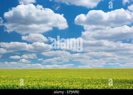 Grande campo di girasoli. Composizione della natura.