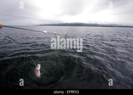 Un salmone pescato in un gill net. Coffman Cove, SE Alaska Foto Stock