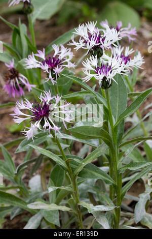 """Fiori di forma selezionata di Centaurea montana """"Cuore viola' Foto Stock"""