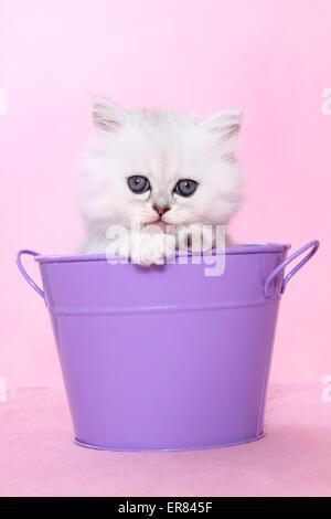 Gattino persiano Foto Stock