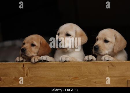 Il Labrador Retriever cuccioli Foto Stock