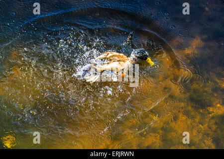 Maschio di Mallard Duck nel fiume Dawlish Brook a Dawlish, South Devon, Inghilterra, Regno Unito Foto Stock