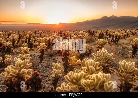 Cholla Cactus Garden a sunrise; Joshua Tree National Park, California. Foto Stock