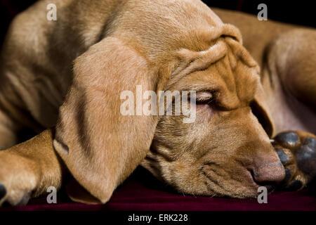 Studio in prossimità dei giovani Vizsla cucciolo avvolto a ricciolo dormire con grandi orecchie floppy ed extra Foto Stock