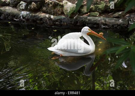 Homosassa Springs, in Florida - Un Americano bianco pellicano (Pelecanus erythrorhynchos) a molle Homosassa Wildlife Foto Stock