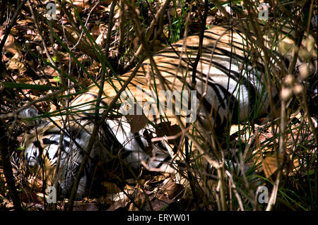 Tiger panthera tigris dormire dentro folta boscaglia ; Kanha Wildlife Sanctuary ; Madhya Pradesh ; India Foto Stock
