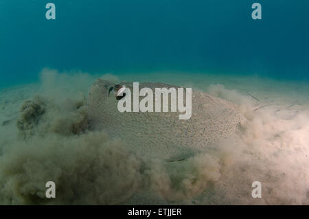 African ray o Istrice ray (Urogymnus asperrimus) sul fondo sabbioso Foto Stock