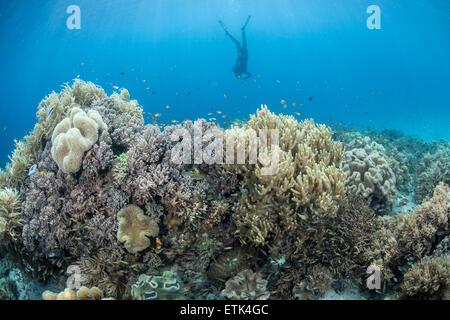 Un apneista esplora una vasta barriera corallina in Raja Ampat, Indonesia. Questa zona è nota per la sua alta biodiversità marina. Foto Stock